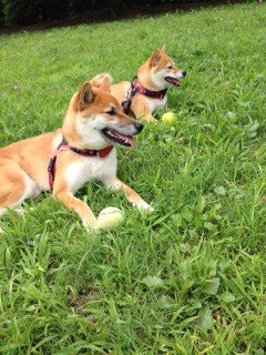 Morinoske members Purin chan and Marron chan love resting in the grass after playing ball
